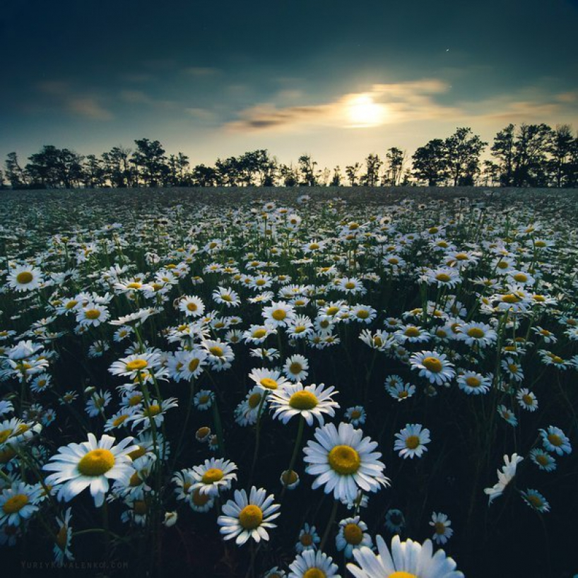Chamomile meadow in Russia